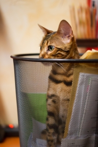 bengal-cat-plying-in-recycle-bin-1406906-m